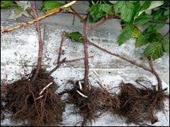 Сроки посадки плодово-ягодных растений