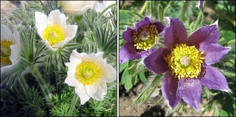 Первоцветы: сон-трава, прострел, пульсатилла