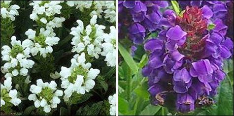 Почвопокровники в саду: прунелла, черноголовка