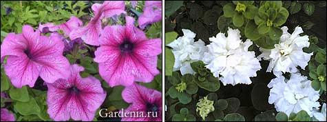 петуния пурпурная; петуния белая