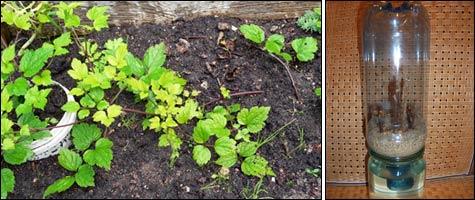 Размножение садовых растений одревесневшими черенками