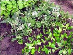 Размножение древесных растений зелёными черенками