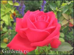http://www.gardenia.ru/pages/i/rosi023.jpg
