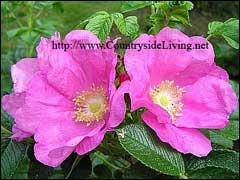 Цветки розы ругоза