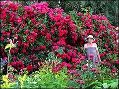 роза казино плетистая уход