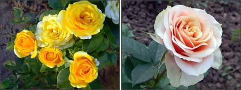 «Роза микс» горшечная в доме и в саду
