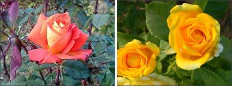 Каркасное воздушно-сухое укрытие роз