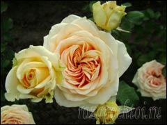 Размножение роз черенкованием и окулировкой