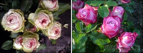 Как заставить розы цвести повторно