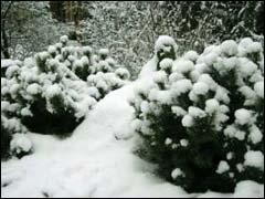 хвойные в зимнем саду
