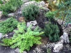 Уголок японского сада с молодыми горными соснами