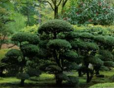 Хвойные в летнем японском саду