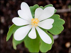 Сангвинария в природе и в саду