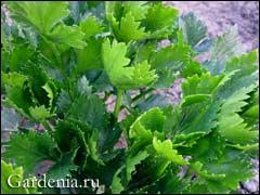 листья корневого сельдерея