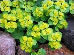 Селезеночник – «старое золото» апрельского сада