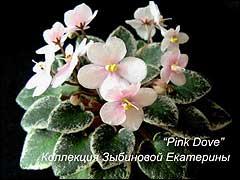 """Сенполия """"Pink Dove"""""""