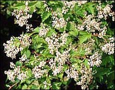 стефанандра Танакэ, цветение