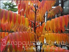 Сумах, уксусное дерево в саду