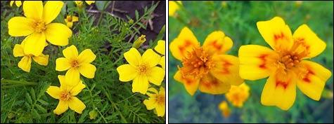 Бархатцы мелкоцветковые, тонколистные, мексиканские