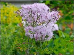 Василисник, таликтрум - цветок василиска