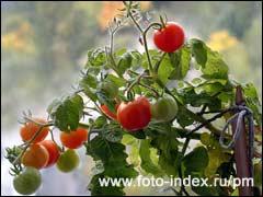 помидоры в квартире