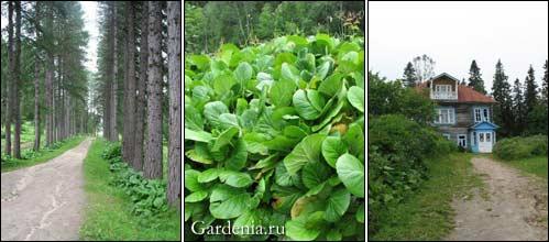 лиственничная аллея; заросли бадана; дача архимандрита
