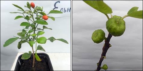 Тропический сад на окошке: декоративные и плодовые экзоты