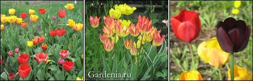 тюльпанов разноцветье; желтые и желто-розовые тюльпаны; необычная окраска тюльпана