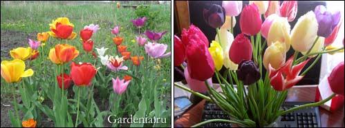 разнообразные тюльпаны; тюльпаны в букете