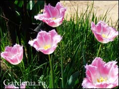 бахромчатый тюльпан сорта «Каминс»