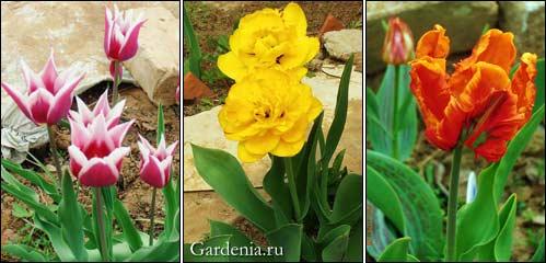 лилиецветный, махровый и попугайный тюльпаны