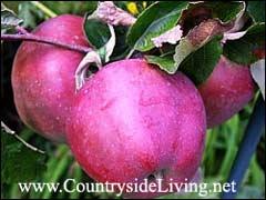 Яблочный сидр из магазинного сока
