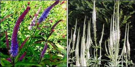 Вероникаструм – долгоцветущий садовый гигант