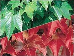 листья винограда Вича летом и осенью