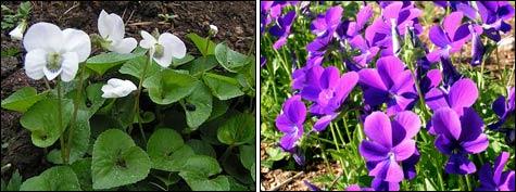 Фиалки - украшение весеннего леса и сада