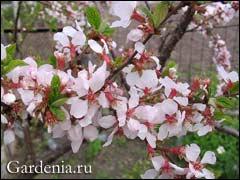 http://www.gardenia.ru/pages/i/vishna002.jpg