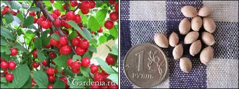 http://www.gardenia.ru/pages/i/vishna0021.jpg