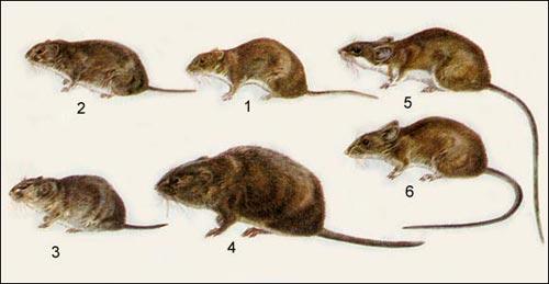 полёвки и мыши