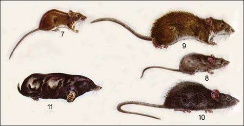 мыши, крысы, крот
