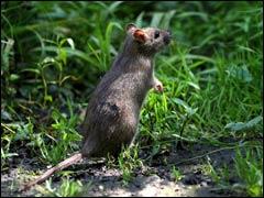 Война с вредителями сада: кроты против крыс