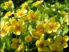 Почвопокровные растения: вальдштейния