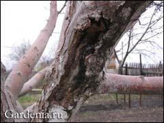 морозобоины на ветке яблони