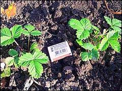Земляника: проращивание семян на влажной бумаге
