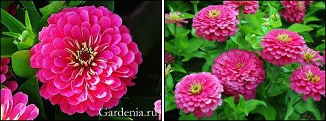 Циннии – краски художника в саду