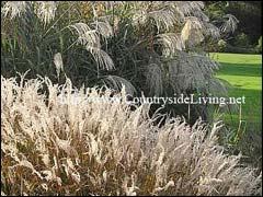 Декоративные злаковые травы в саду